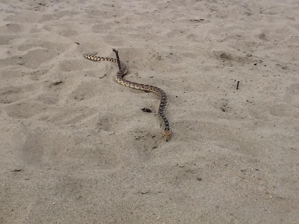 Bull snake on beach.JPG
